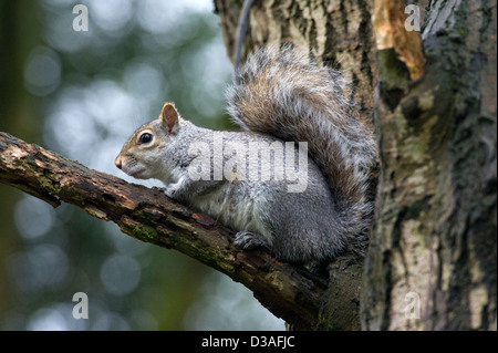 Grey Squirrel (Sciurus carolinensis) an an autumn day sitting on a branch in English Woodland - Stock Photo