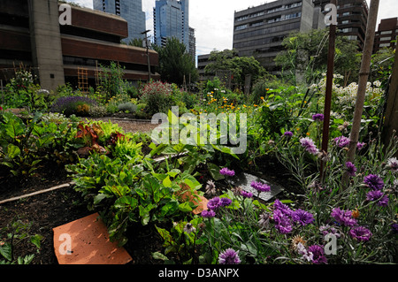 Davie Village Community Garden Vancouver BC Canada allotment allotments city center plot plots gardens gardening - Stock Photo
