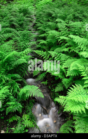 stream flow flowing through surrounded by lush green undergrowth dryopteris fern ferns old growth rainforest - Stock Photo