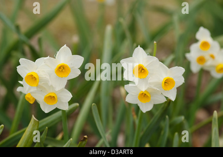Beautiful yellow daffodil flowers in spring and easter - Stock Photo