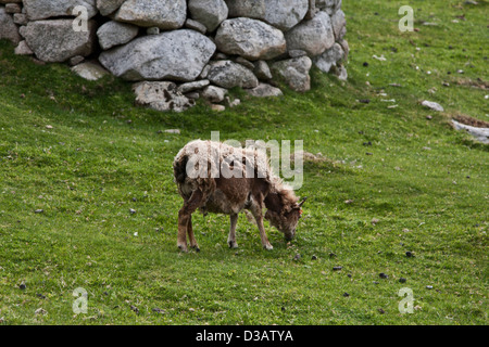 evolution of the wild soay sheep Soay sheep are a remnant of an ancient breed of sheep that, although intensively studied for many years, live unmanaged on the remote scottish island of st kilda.