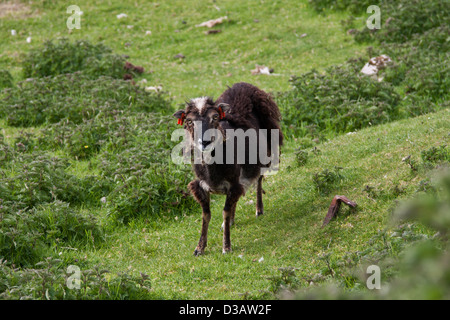 Wild Soay sheep on the island of Hirta in the St Kilda archipelago, - Stock Photo