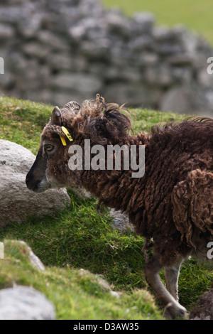Woodland Creek Farm Soay Sheep