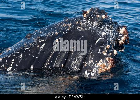 Friendly Humpback Whale (Megaptera novaeangliae), interacting with tourist zodiac. Antarctic Peninsula. - Stock Photo