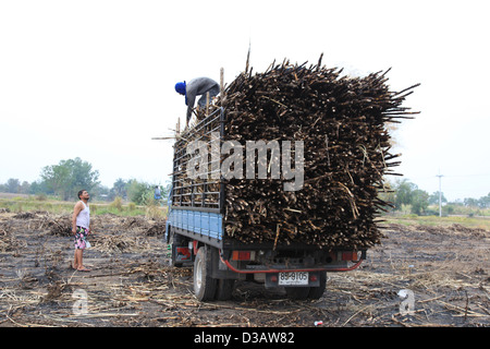 Harvested sugar cane in Nakorn Ratchasima province, Thailand, is loaded by tractor onto a truck for transporting - Stock Photo