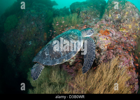 An endangered species, green sea turtle, Chelonia mydas, at Gordon Rocks, Galapagos Archipelago, Ecuador. - Stock Photo