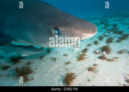 Tiger shark, Galeocerdo cuvier, showing the nictitating membrane, Bahamas, Atlantic Ocean. - Stock Photo