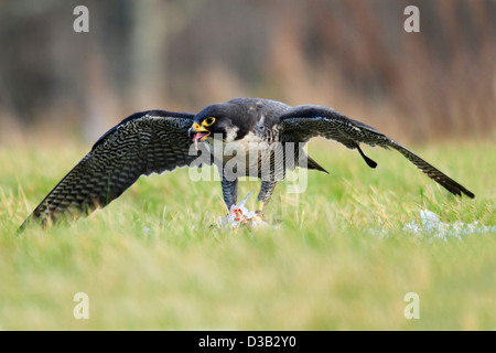 Peregrine Falcon in Scottish Highlands - Stock Photo