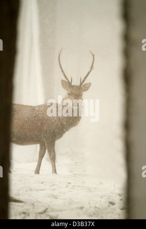 Red deer in snow, Scottish Highlands - Stock Photo