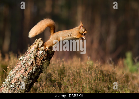 Red Squirrel jumping off a log, Scottish Highlands - Stock Photo