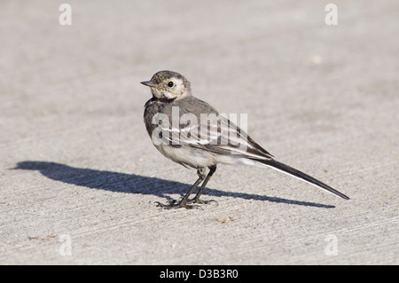 A juvenile pied wagtail (Motacilla alba) Standing on concrete with bright sunshine casting a strong shadow. Rainham, - Stock Photo