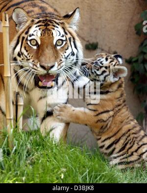 (dpa) - The Siberian tiger baby wants to play with its mother in the zoo in Hanover, Germany, 27 May 2003. The tigers - Stock Photo