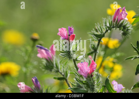 Pink, purple and red spring wildflowers on a green background in the field. - Stock Photo