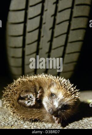 (dpa) - A convolved little hedgehog lies in front of a car tire on a street in Offenbach, Germany, 30 September - Stock Photo