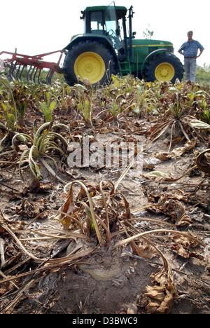 (dpa) - Shriveled sugar beets are seen on a dried up field in Duesseldorf, Germany, 21 August 2003. The German farmers - Stock Photo