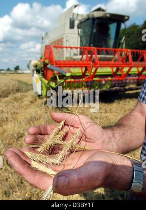 (dpa) - These rye spikes are way too small, shown in the hands of a farmer on a field near Hindenberg, northern - Stock Photo