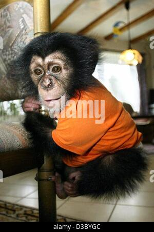 (dpa) - With a cheeky smile on his face the little baby chimpanzee Bill climbs up a chair in Kaiserbach, Germany, - Stock Photo