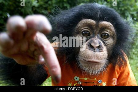 (dpa) - With a cheeky smile on his face the little baby chimpanzee Bill graps for the camera in Kaiserbach, Germany, - Stock Photo