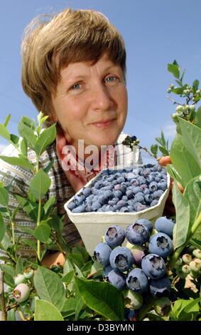 (dpa) - Kerstin Wilms, head of the fruit farm Wilms, picks ripe blueberries from a bush in Hohenwalde, eastern Germany, - Stock Photo