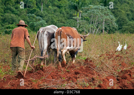 Cuban farmer ploughing field with traditional plough pulled by oxen on tobacco plantation, Valle de Viñales, Cuba, - Stock Photo