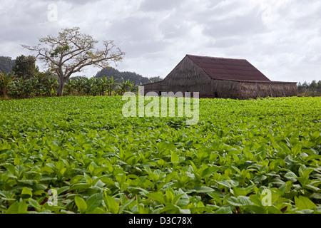 Tobacco plantation in the Viñales Valley / Valle de Viñales, Sierra de los Organos, Pinar del Río, Cuba, Caribbean - Stock Photo