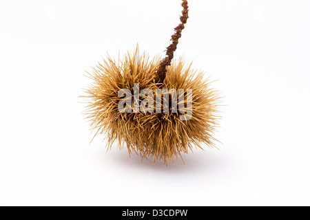 Chestnut (castanea sativa) in the husk on white background - Stock Photo
