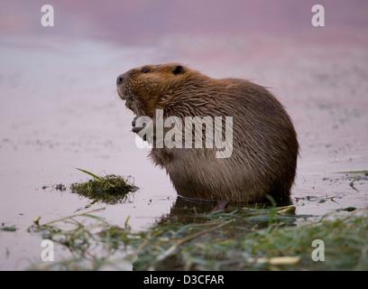 North American beaver in the Colorado river Arizona, USA - Stock Photo