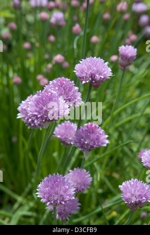 Blossoming chives in a garden - Stock Photo