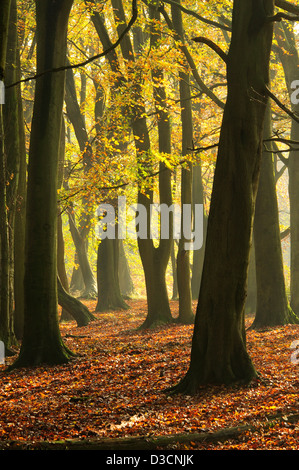 A view of Ashridge Forest in the Autumn mist UK - Stock Photo