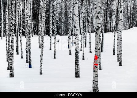 Birch forest in winter with color markings on some trees Stock Photo