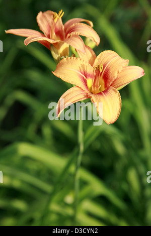 Lilies in the summer garden - Stock Photo