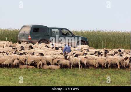 Torgau, Germany, Schaefer stands amidst a flock of sheep - Stock Photo