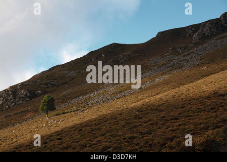 A single tree on a hillside in Glen Muick, on the Balmoral Estate in Aberdeenshire - Stock Photo