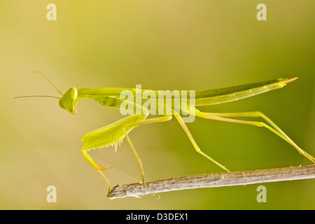 Close up view detail of the beautiful green European Dwarf Mantis insect. - Stock Photo