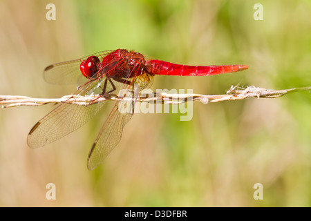 Close up view of a Scarlet Darter (Crocothemis erythraea) dragonfly insect. - Stock Photo