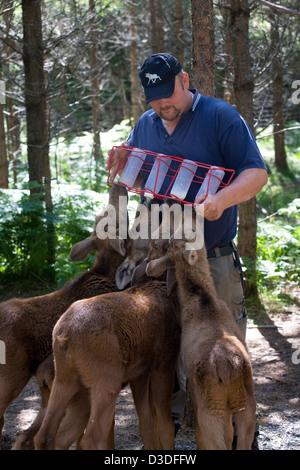 Ed, Sweden, Elchfuehrer feeds moose calves on the elk farm Dalslands Moose Ranch - Stock Photo
