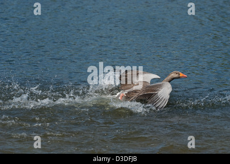 Greylag Goose chasing intruder off it territory - Stock Photo