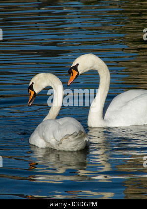 A pair of Swans swimming together - Stock Photo