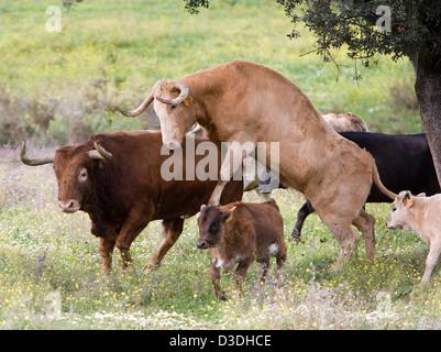 El CASTILLO DE LAS GUARDAS, SEVILLE, SPAIN, 24th FEBRUARY 2008: A cow mounts a bull at the ganaderia of Juan Pedro - Stock Photo