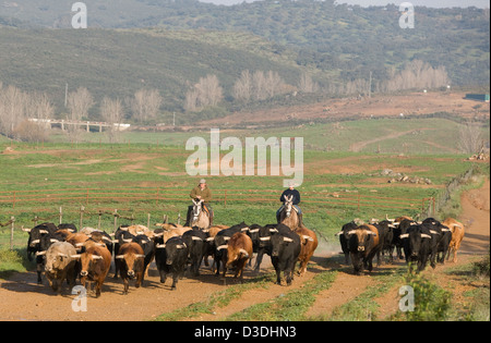 El CASTILLO DE LAS GUARDAS, SEVILLE, SPAIN, 24th FEBRUARY 2008:: Four year old bulls are driven to new pasture by - Stock Photo