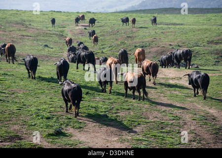 El CASTILLO DE LAS GUARDAS, SEVILLE, SPAIN, 24th FEBRUARY 2008: Four year old bulls are driven to new pasture by - Stock Photo