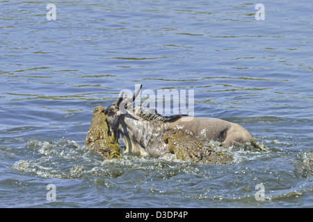 Two crocodiles killing a wildebeest in the Mara river during the annual wildebeest migration - Stock Photo