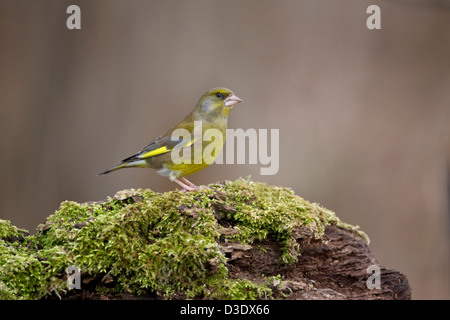Male Greenfinch Carduelis Chloris in profile standing on mossy covered tree stump - Stock Photo