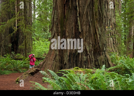Photographer at  the Jedediah Smith Redwood State Park, California - Stock Photo