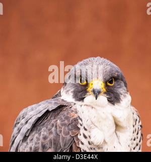 A captive peregrine Falcon ( falco peregrinus ) - Stock Photo