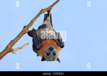 Male Grey Headed Flying Fox, Pteropus poliocephalus, hanging from a branch. Bellingen Island, NSW, Australia. - Stock Photo