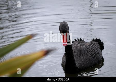 Black swan swimming on a lake - Stock Photo