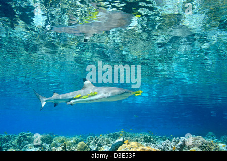 Blacktip Reef Shark Carcharhinus melanopterus swimming in shallow water above coral reef with juvenile golden trevally - Stock Photo
