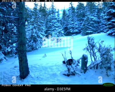 Wolverine - Trail Camera Picture - Stock Photo