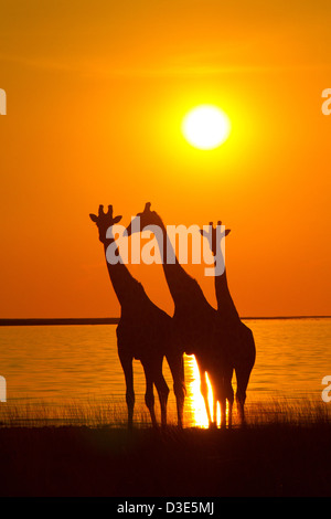 Giraffes silhouetted against the setting sun in Etosha National Park - Stock Photo